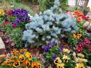 Picture of flowers and blue spruce